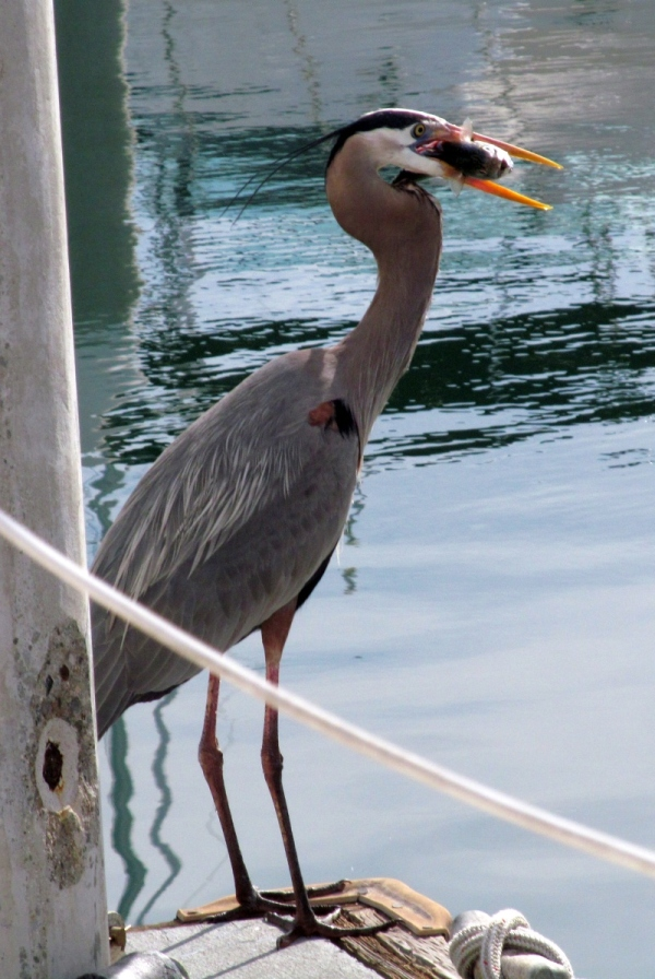 Click image for larger version  Name:Our pet Blue Heron.jpg Views:45 Size:259.1 KB ID:77378