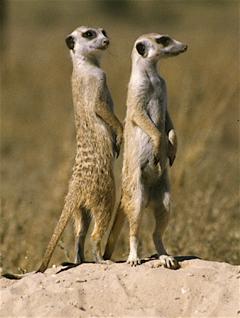 Click image for larger version  Name:meerkat.jpg Views:166 Size:101.7 KB ID:7939