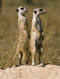 Click image for larger version  Name:meerkat.jpg Views:340 Size:101.7 KB ID:7939