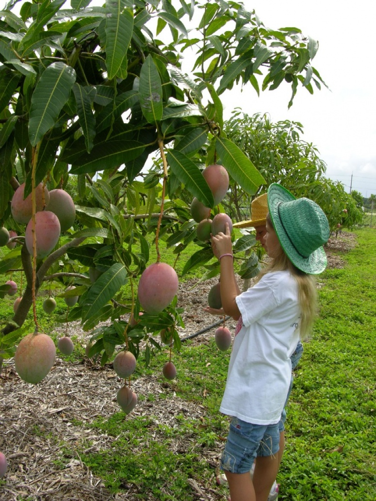 Click image for larger version  Name:Growing_mango.jpg Views:125 Size:412.6 KB ID:83425