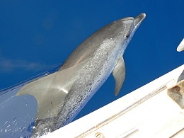 Click image for larger version  Name:Dolphin small.jpg Views:250 Size:48.9 KB ID:89816