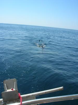 Click image for larger version  Name:Basking shark (300 x 400).jpg Views:235 Size:26.6 KB ID:9843