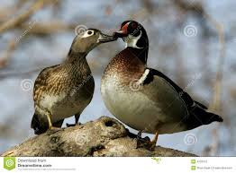 Click image for larger version  Name:ducks.jpg Views:61 Size:8.7 KB ID:98701