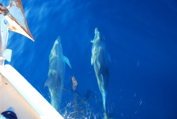 Awesome - Dolphins riding our bowwave off eastern side of Moreton Island, 30 June 2009