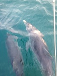 couple of dolphins on  the bow all the way down to the mooring